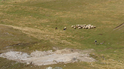 4K UHD herd of sheep on alpine meadow in caucasus Live Action
