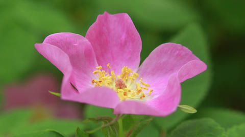 Wild Rose 01 stock footage