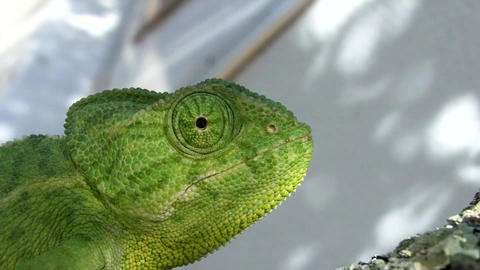 Close Up ,Chameleon stock footage