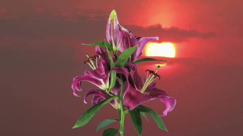 Growing And Rotating Red Lily 1e2 On Sunrise, UHD stock footage
