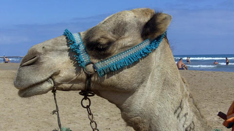 Camel On The Beach stock footage