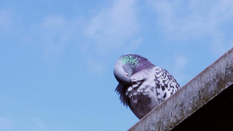 Lonely Pigeon Cleans Feathers On The Roof 2 stock footage
