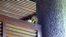 Asian Squirrel Eats Banana At Hotel Balcony stock footage