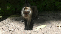 Social Life Of Macaques Monkeys In Bali stock footage