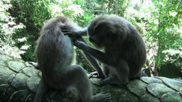 Macaques Cleaning Their Fur In The Monkey Forest B stock footage
