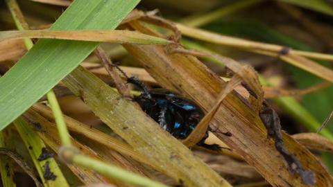 Scarab Beetle stock footage