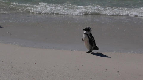African Penguins Live Action