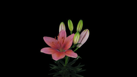 Growing, opening and rotating pink lily 1x3 with A Footage