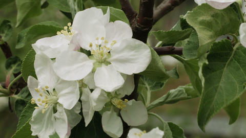 Apple tree white flowers closeup Footage