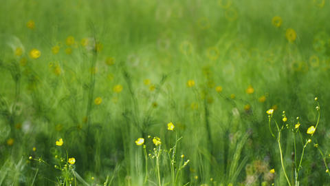 Meadow grass with yellow flowers Footage