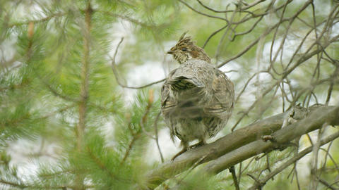 Hazel Grouse Hiding In The Branches Of A Pine stock footage