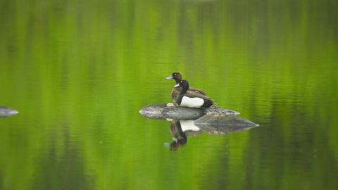Tufted Ducks (Aythya Fuligula) Couple On Pond. Wil stock footage