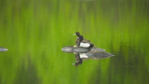 Tufted Ducks (Aythya fuligula) couple on pond. Wil Footage