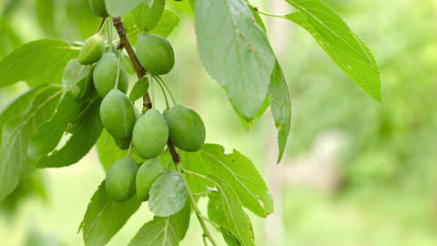 Branch Of Plum Tree With Green Fruits Close Up stock footage