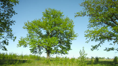 A group of old oak trees in the meadow. Summer rur Footage