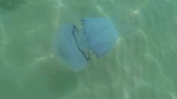 Medusa jellyfish closeup slowly floats in sea wate Footage