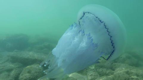 Medusa jellyfish medium shot slowly floats in sea  Footage