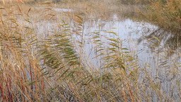 Swamp Landscape With Swaying Reed stock footage
