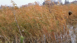 Reed In The Wind stock footage