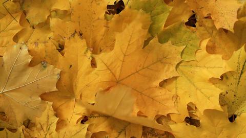 Yellow Maple leafs Footage