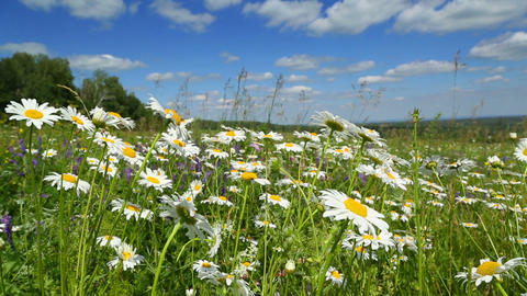 daisies on a meadow under blue sky Footage