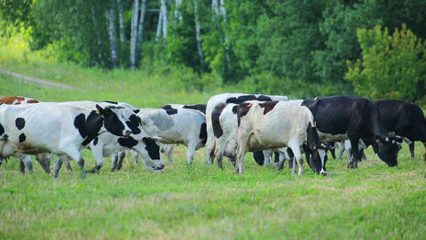 herd of cows on pasture Footage