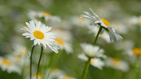 daisies on a meadow - shot with shallowDOF Footage