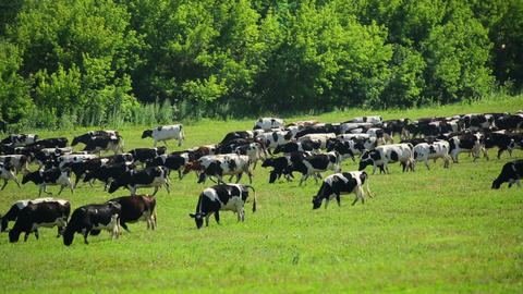 large herd of cows on pasture - timelapse Footage