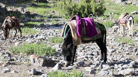 Donkey under saddle. Tajikistan Footage