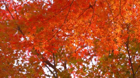 2160p (12bit RGB4:4:4) 紅葉 autumn Japan Footage