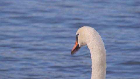UHD RGB4:4:4 X264 白鳥 Swan Japan stock footage