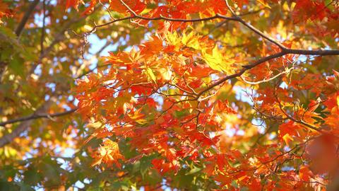 2160p (12bit RGB4:4:4) 紅葉 autumn Japan ビデオ