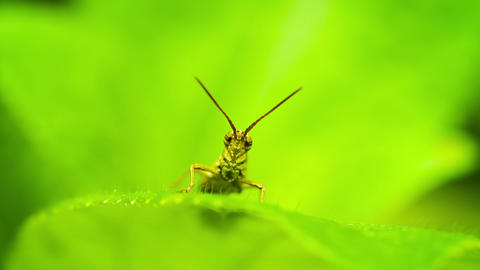 Small Grasshopper Sitting On A Leaf Of A Plant Clo stock footage