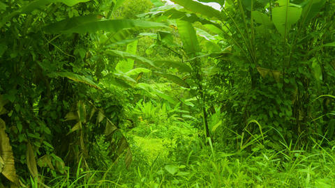 Tropical thicket of bananas and other grasses Footage