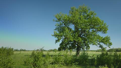 Old big oak tree in windy weather Footage