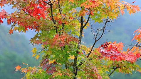 Tree with mountains and autumn foliage in the background ライブ動画
