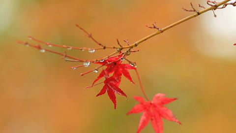 The branches of a maple in the autumn forest Footage