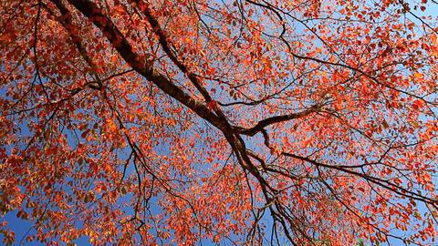 Autumn colorful foliage Footage