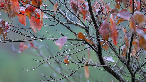 Tree with autumn foliage in the rainy weather Footage