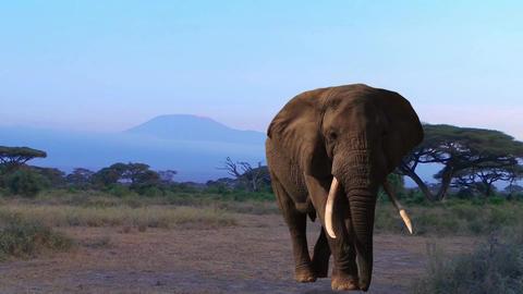 Elephant. Kilimanjaro, Savannah. Evening Footage
