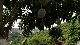 Mango Fruit Tree Tilt stock footage