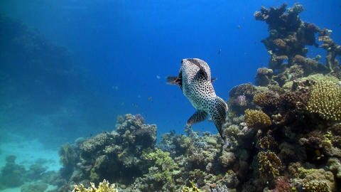 Silver Puffer swims over coral reef Footage