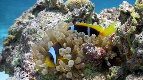 Clown Anemonefish in coral reef Stock Video Footage