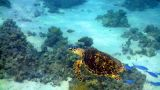Turtle Swimming In Coral Reef stock footage