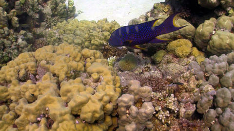 Cоral Gruper fish on coral reef Footage