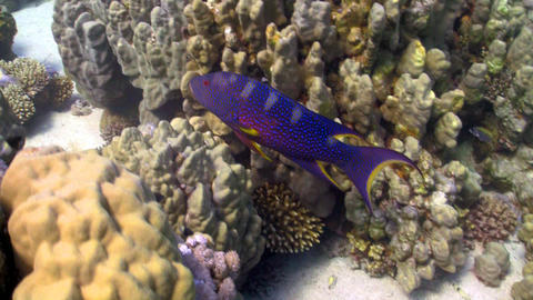 Cоral Gruper fish on coral reef Stock Video Footage