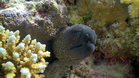 murena in coral reef Stock Video Footage