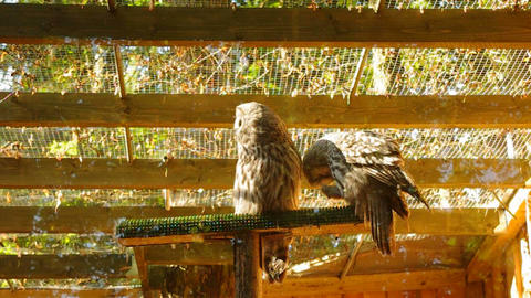 Great grey owl Stock Video Footage