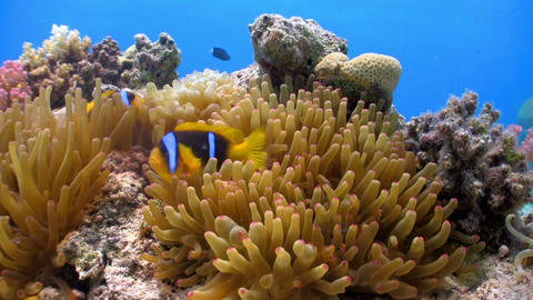 Clown Anemonefish in coral reef Footage