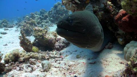 murena in coral reef Footage